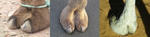 Dromedary, F-1 Hybrid & Wild Bactrian Camel toes (See Jane Run/Flickr/Kazuhisa OTSUBO)