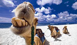 Camels get no respect (strangecosmos.com)